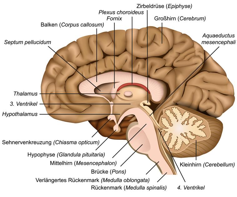 Querschnitt durch das menschliche Gehirn, im Zentrum die Zirbeldrüse